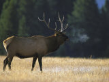 Rocky Mountain Elk, Yellowstone National Park, USA Photographic Print by Mark Hamblin