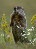 Woodchuck Photographic Print by Mark Hamblin