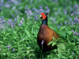 Pheasant Photographic Print by Mark Hamblin