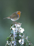 Robin on Ivy-Covered Stump in Snow, UK Stampa fotografica di Mark Hamblin