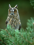 Long-Eared Owl, Adult, Scotland Photographic Print by Mark Hamblin