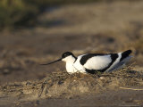 Avocet, Adult Incubating Eggs, Greece Photographic Print by Mark Hamblin