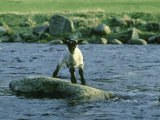 Lamb Stranded on Rock in River, Grampian Region Photographic Print by Mark Hamblin