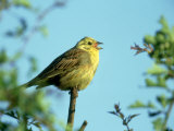 Yellowhammer Photographic Print by Mark Hamblin