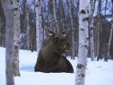 Elk or Moose, Resting in Snow, Norway Photographic Print by Mark Hamblin