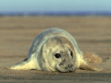 Grey Seal, Pup, UK Photographic Print by Mark Hamblin