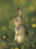 Rabbit, Youngster Standing Upright, UK Photographic Print by Mark Hamblin