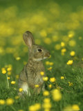 Rabbit, Adult Amongst Buttercups, UK Photographic Print by Mark Hamblin