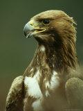 Golden Eagle, Portrait of Adults, Scotland Fotografiskt tryck av Mark Hamblin