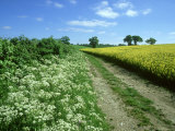 Farmland Habitat, Cow Parsley, England (May) Photographic Print by Mark Hamblin