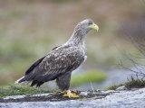 White-Tailed Eagle, Adult, Norway Fotografiskt tryck av Mark Hamblin