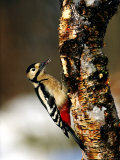 Great Spotted Woodpecker Photographic Print by Mark Hamblin