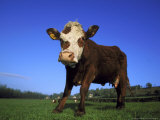 Hereford Cow, Low Angle View of Cow Stoodin Field, UK Photographic Print by Mark Hamblin