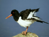 Oystercatcher on Rock, Scotland Reproduction photographique par Mark Hamblin