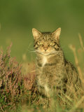 Scottish Wildcat, Felis Sylvestris Pure-Bred Male, August Highlands, Scotland Photographic Print by Mark Hamblin