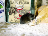 Wood Mouseapodemus Sylvaticusamongst Flour Packets Lámina fotográfica por Mark Hamblin