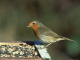 Robin, Feeding on Table, UK Photographie par Mark Hamblin