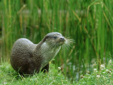 European Otter, Lutra Lutra Portrait on Riverbank Photographic Print by Mark Hamblin
