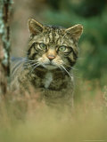 Wild Cat, Portrait, Scotland, UK Photographic Print by Mark Hamblin