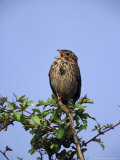 Corn Bunting Photographic Print by Mark Hamblin