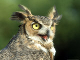 Great Horned Owl, Bubo Viginianus Close up Portrait, Calling, USA Fotoprint van Mark Hamblin