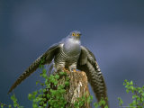 Cuckoo, Wings Outstretched, Scotland Photographic Print by Mark Hamblin