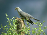 Cuckoo, Adult with Caterpillar, Scotland Lámina fotográfica por Mark Hamblin