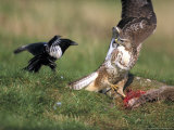 Buzzard, Fending off Magpie from Prey Lámina fotográfica por Mark Hamblin