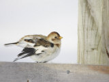 Snow Bunting, Adult Female Preening, Scotland Photographic Print by Mark Hamblin