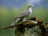 Goshawk, Feeding on Pheasant, Scotland Reproduction photographique par Mark Hamblin