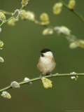 Willow Tit, Parus Montanus Perched on Pussy Willow, UK Photographie par Mark Hamblin