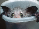 Aye-Aye, Infant Peering out of Tuppaware Container, Duke University Primate Center Photographic Print by David Haring