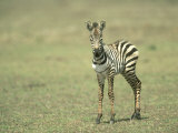 Burchells Zebra, Equus Burchelli Baby Masai Mara NR, Kenya Photographic Print by Adam Jones