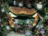 Edible Crab, Gods Garden, Scotland Photographic Print by Paul Kay