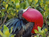 Great Frigate Bird, Courting Male with Fully Inflated Gular Pouch, Galapagos Photographie par Mark Jones