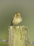 Meadow Pipit, Juvenile Perched on Fence Post, Scotland Photographic Print by Mark Hamblin