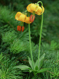 Columbia Tiger Lily, Lilium Columbianum Olympic National Forest, WA Photographic Print by Adam Jones