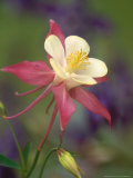Hybrid Columbine, Aquilegia Spp Oregon Photographic Print by Adam Jones