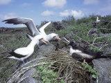 Nazca Booby & Great Frigatebird, Interaction, Galapagos Photographie par Mark Jones