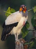 King Vulture, with Full Crop, Tambopata River, Peruvian Amazon Photographic Print by Mark Jones