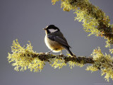 Coal Tit, Adult Perched on Lichen-Covered Perch, Scotland Photographie par Mark Hamblin