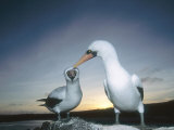 Nazca Booby, Courting Pair, Galapagos Photographie par Mark Jones