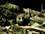 "Marsupial Mouse, ""Monita Del Monte"" South Chile Photographic Print by Rodger Jackman"