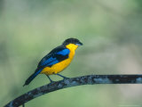 Blue Winged Mountain Tanager, Western Slope of Pichincha Volcano, Ecuador Photographie par Mark Jones