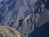 Andean Condor, Sub-Adult Male in Flight, Peru Reproduction photographique par Mark Jones