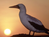 Nazca Booby, Cliff Edge Roosting Spot at Sunset, Galapagos Photographie par Mark Jones