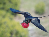 Great Frigate Bird, Male in Flight with Fully Inflated Courtship Air Balloon, Galapagos Photographie par Mark Jones
