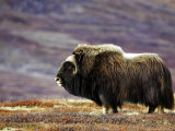 Musk Ox, Adult Female on Tundrain Autumn, Norway Photographic Print by Mark Hamblin