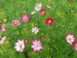 Cosmos Flowers Fotografie-Druck von Adam Jones