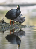Giant Coot, with Chicks on Floating Nest, Lauca National Park, Chile Photographie par Mark Jones